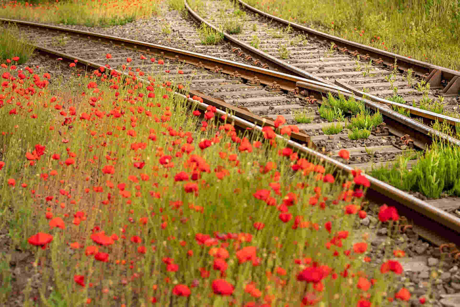 Tracks changing with poppies in foreground